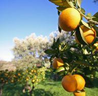 Planter un artbre fruitier