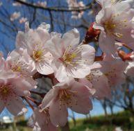 Cerisiers du Japon (Prunus x subhirtella)