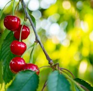 Arbres fruitiers pour petits jardins / iStock.com - Adyna
