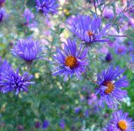 Aster : un fleur d'automne