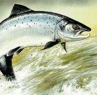 Mâle de saumon Atlantique