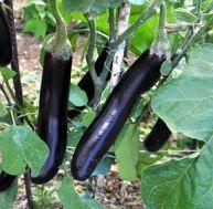 Aubergine : planter, cultiver et récolter des aubergines