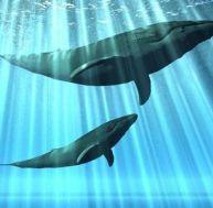 … aujourd'hui les baleines nagent
