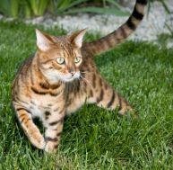 Adopter un chat : le Bengal