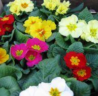 Fleurs bisannuelles : Primula