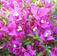 Plantes méditerranéennes : ici un bougainvillée