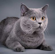 Le British Shorthair