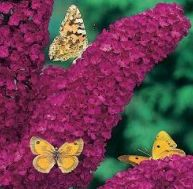 Buddleia © Meilland-Richardier