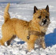 Le Cairn terrier