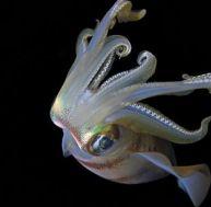 Un calmar, un calamar ou un encornet ?