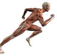 Les muscles du corps humain