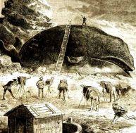 Echouage d'une baleine, c'était déjà un événement pour la presse il y a une centaine d'années