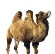 Le chameau de Bactriane