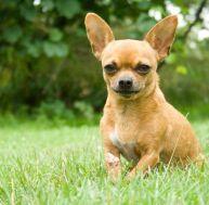 Race de chien : le Chihuahua