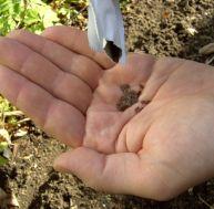 Planter des graines potagères