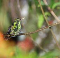Le colibri produit un ronflement salvateur, pendant son sommeil...