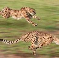 Guépard : animal chasseur, animal chassé