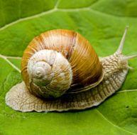 Réglementation de la cueillette des escargots
