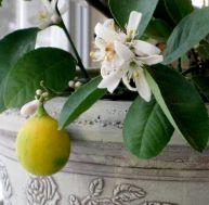 Cultiver un citronnier en pot