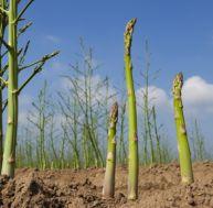Asperge plantation culture et r colte - Comment planter des asperges ...