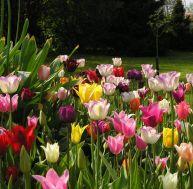 Cultiver des tulipes