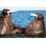 Morses, des géants de la banquise