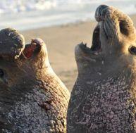 L'éléphant de mer ou phoque éléphant ?