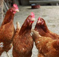 Élever des poules chez soi