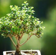 Entretien des bonsaïs