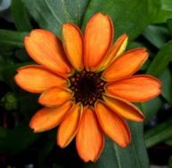 La première fleur éclose dans l'espace - copyright Scott Kelly