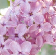 Lutter contre le stress grâce aux fleurs de Bach