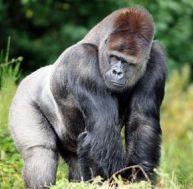 Le gorille, le plus grand des hominidés