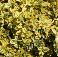 Euonymus fortunei 'Emerald Gold' © Jardiland