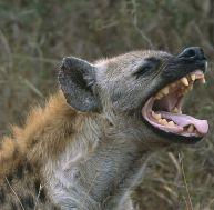 Une hyène, des hyènes