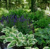 Hosta 'Liberty' Salvia 'May Night'