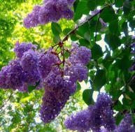 ja/jardin-parfume-lilas.jpg