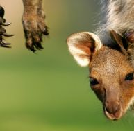 Le bébé kangourou, un mammifère de poche…