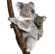 Femelle koala avec son petit