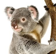 Le koala et les hommes