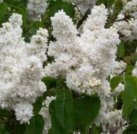 "Lilas Syringa vulgaris ""Madame Lemoine"""