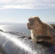 Un macaque artilleur de la couronne britannique à Gibraltar