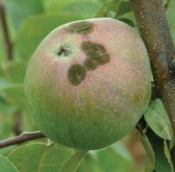 Connaître les maladies des arbres fruitiers