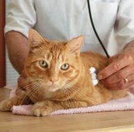 Les maladies du chat : les ascaris