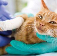 Les maladies du chat : le ténia