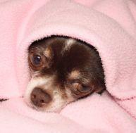 Les maladies des chiens