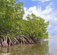 Qu'est-ce que la mangrove ?