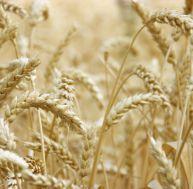 Avantage ou risque des OGM