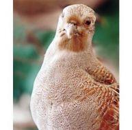 Perdrix grise : comportement et reproduction