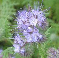 Engrais naturel : Phacelia tanacetifolia