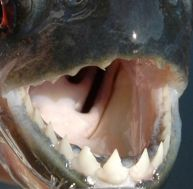 Mâchoire de piranha noir © Arnaud Filleul